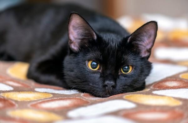 mèo vào nhà